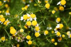 bach flowers 3